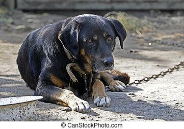 Big old dog on chain