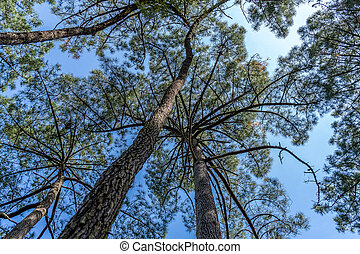 Big old pine trees thrones bottom view