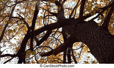 Big old tree in the autumn forest. Panorama from top to bottom. Yellow leaves on trees