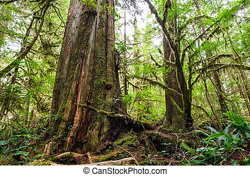 Big old trunk in rainforest on vanouver island
