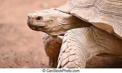 Big old turtle close-up. Turtle moving. Ancient animal in Park, nature, or. High quality FullHD footage