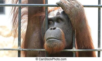 Big orangutan in cage - Close up Big orangutan in cage, HD...