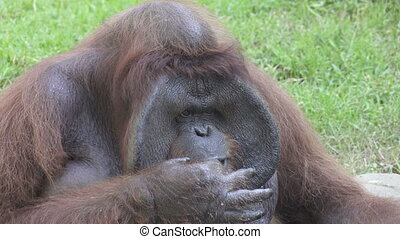 Big orangutan on a green grass