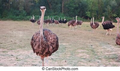 Big ostrich walking on the field. Ostrich farm on forest background.