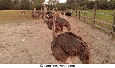 Big ostriches at farm field. Domestic animals outdoors,. Ecological farming concept.