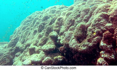 Big pack of tropical fishes over a coral reef