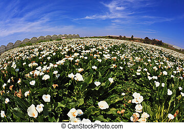Big pictorial field of large white flowers