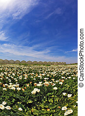 Big picturesque field of white flowers