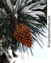 Big Pine Cone on the tree covered with snow