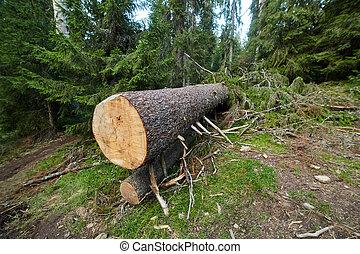 Big pine tree cut down