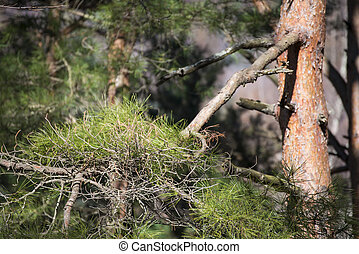 big pine tree in forest