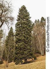 big pine tree in nature