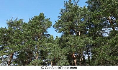 Big pine-trees moving, Russia. Tripod shot, no camera move,...