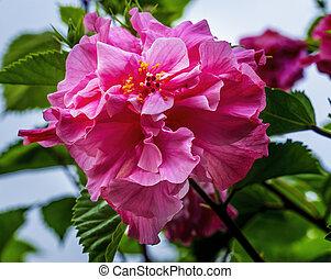 Big Pink Triple Tropical Hibiscus Flowers Green Leaves Easter Island Chile.  Tropical hibiscus has many varieties.