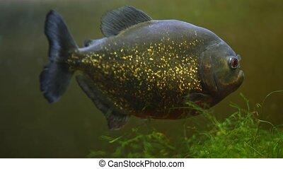 Big Piranha fish as danger in nature Piranha