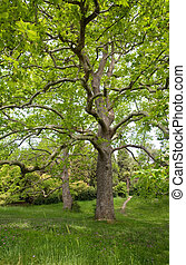 Big plane trees - Two majestic plane trees on green summer ...