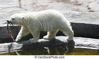big polar bear run with his prey in zoo - one big polar bear...