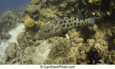 Big potato cod with round patterns - An underwater slow...