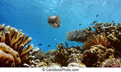 Big Puffer fish in clear clean water over an intact coral...