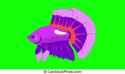 Big Purple Aquarium cockerel fish Chroma Key looped - Big...