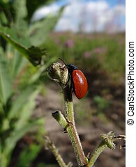 big red beetle on a branch with a leaf on a sunny day