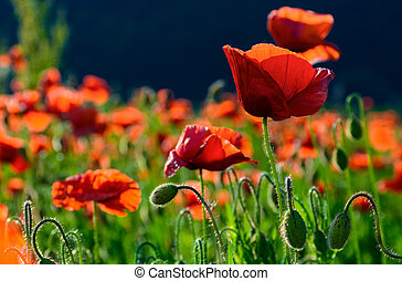 big red blossoming poppy flower in the field. beautiful...
