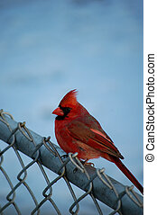 Big Red - Cardinal sitting on a fence (winter)