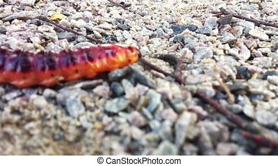 Big red caterpillar of goat moth