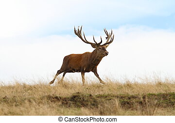 big red deer stag in the run