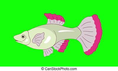 Big Red Guppy Aquarium Fish Chroma Key looped - Big red...