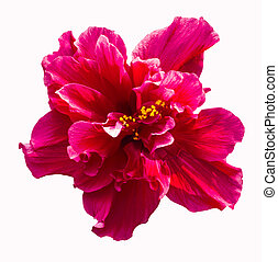 Big red hibiscus flower - A big red hibiscus flower isolated...