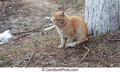 Big red homeless cat