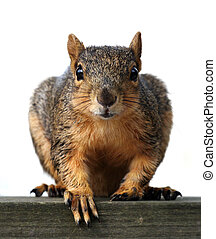 Large red squirrel closeup. Appears to be begging.