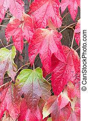 Big red leaves of the Parthenocissus tricuspidata