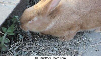 big red rabbit on a small farm