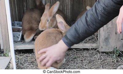 big red rabbit on a small farm,