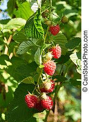 Big red ripe juicy raspberries