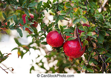 big red ripe pomegranates on a branch on nature in Turkey