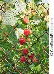 Big red ripe raspberries on a netting