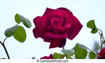 Big red rose after rain closeup.