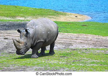 big rhinoceros on green grass near water