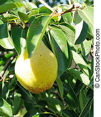 Big ripe fruit on the branch of pear