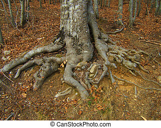 big roots of a tree in falltime colors