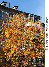 Big rowan tree with berry and facade of apartment building