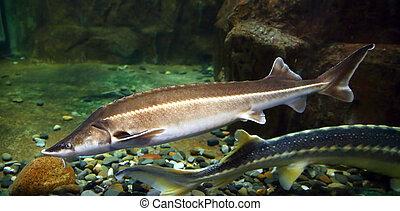 russian sturgeon fish underwater