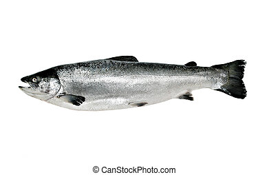 Big salmon fish isolated on white background