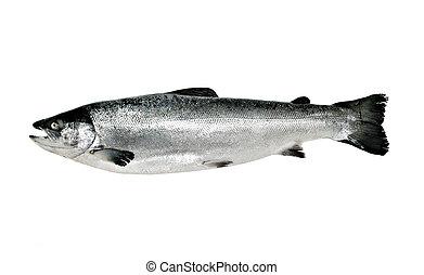 Big salmon fish isolated on white background