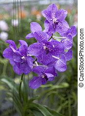 Big sapphirine flower orchids. Beautiful blossoms close-up....