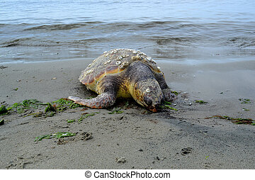Big sea turtle on the beach
