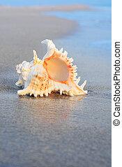 Big seashell on clean beach in water - Big seashell on the ...